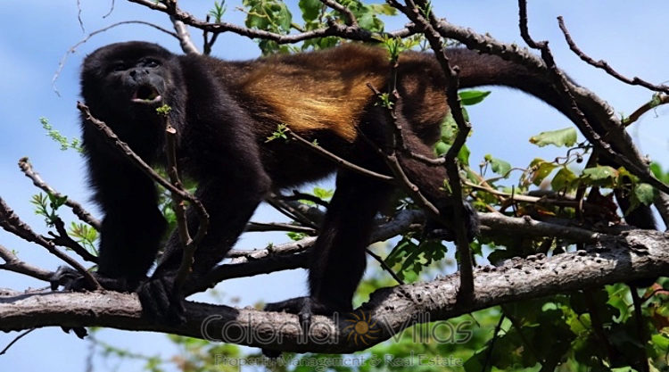 29Mantled Howler Monkey
